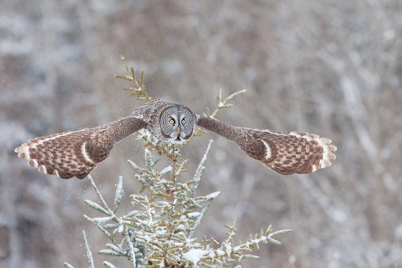 Great Grey Owl, Manitoba, Canada