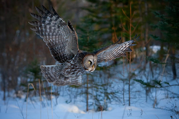 Great Grey Owl on Old #15 Highway, Manitoba