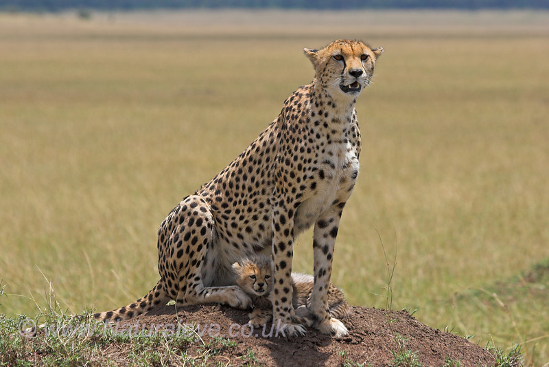Cheetah and 5 week old cub, Maasai Mara, Kenya