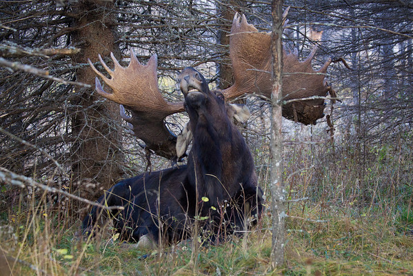 Bull Moose Stretching, Riding Mountain National Park, Manitoba