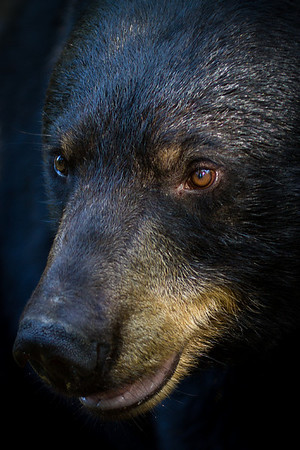 Wild Black Bear Portrait