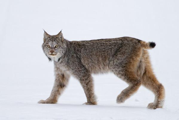 Riding Mountain National Park Lynx