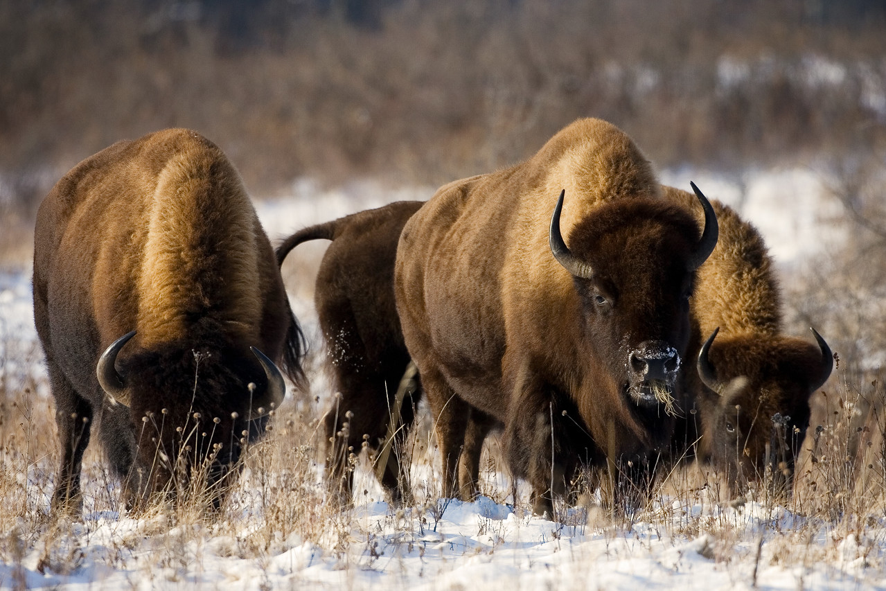 Bison, Riding Mountain National Park, Manitoba, Canada