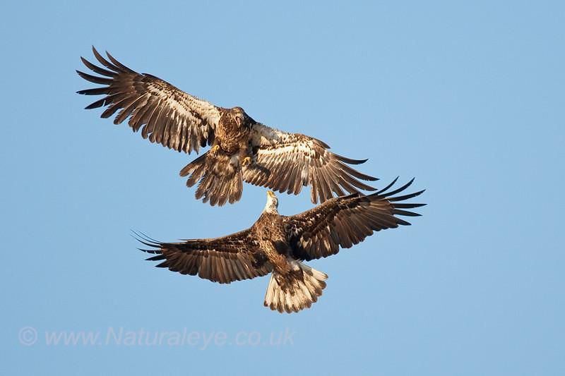 Juvenile Bald Eagles fighting