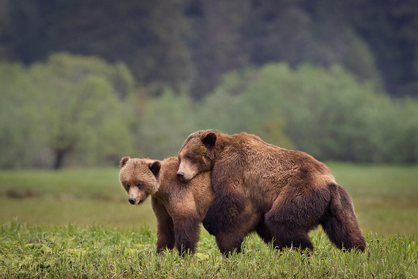 Grizzly Bears Mating