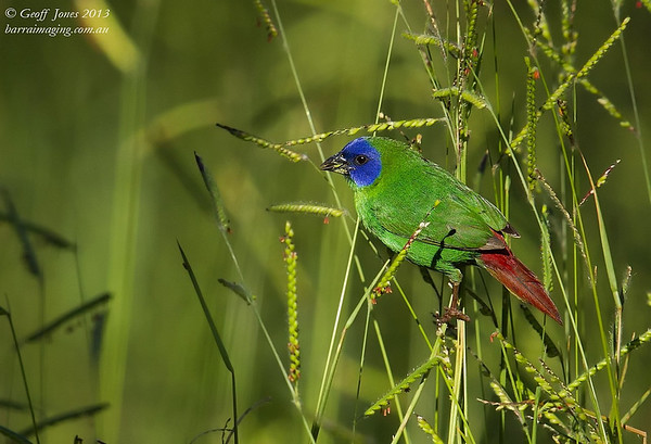Blue-faced Parrotfinch male