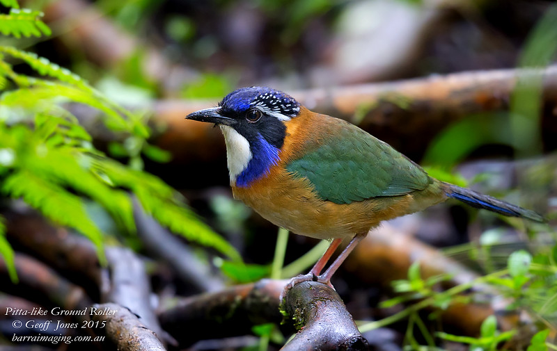 oiseau Martin 6 avril trouvé par Martine Pitta-like%20Ground%20Roller-L