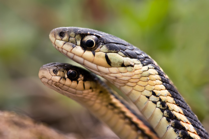 Mating Ritual, Female and Male Garter Snake