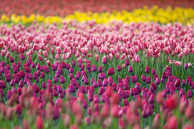 Tulips at Commissioners Park, Ottawa