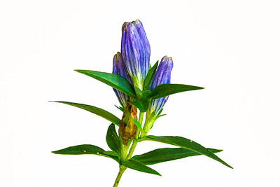 Bottle Gentian Flower, Mikisew Park, Almaguin Highlands, Ontario