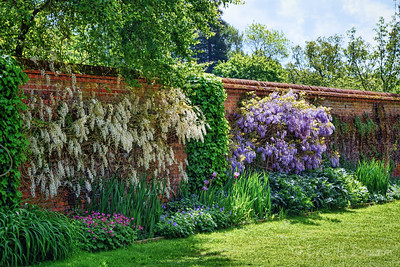Wisteria Wall, Hatchlands, Surrey, England