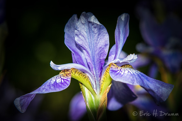 Iris Bloom II, Horseshoe Valley, Ontario