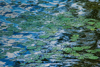 Water-Lily Pad  à la Monet, Head Lake, Haliburton, Ontario
