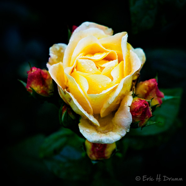 Last of the Summer Roses, Durthie Gardens, Aberdeen, Scotland