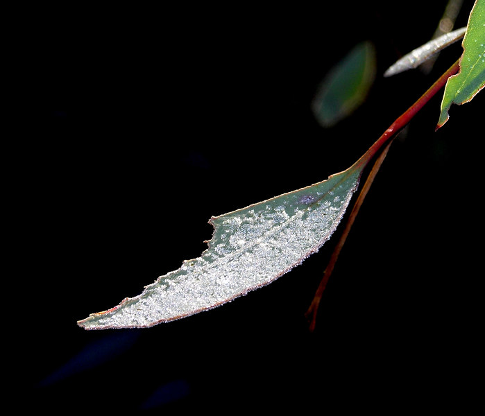 I love this one. One of my all-time favourites. Taken the morning after a severe winter frost in my garden in Canberra in July 2006. It is a Eucalyptus leaf.