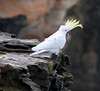 A sulphur-crested cockatoo (Cacatua galerita) squawking on the cliff on the northern side of Coogee Beach, Sydney in June 2008.