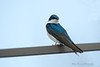 Our sweet Tree Swallow visiting this Spring