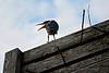 Green Heron atop an Osprey nest
