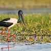 Black-necked Stork_David Stowe_4686