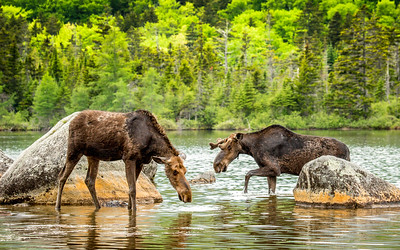 Just another day in the pond - a young male mooose plays it coy with a female. It'll be a few months before he sheds the velvet to show a primed rack, it'll be a few years before it's big and pointy enough to impress. Baxter state park, Maine, USA #Moose #Maine #USA