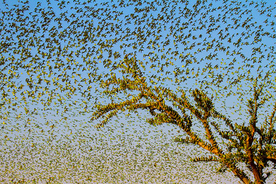 A dead tree springs to life when hundreds of budgies, looking like leaves, use it as a place to rest as they search for water. During the summer months in central Australia (November to February), the temperature can be in the 40s and water is scarce. I knew that budgies (Melopsittacus undulatus) would start to flock together as they sought out what little water remained . It was a challenge to locate where they might gather but I heard reports from an area south of the town of Alice Springs. I drove up and down the desert searching the horizon for flocks. I eventually found a small waterhole littered with little green feathers and fresh droppings. I returned just before dawn. It was silent but it wasn't long before the sky above me was filled with the flutters of thousands of budgies, all desperate to drink.