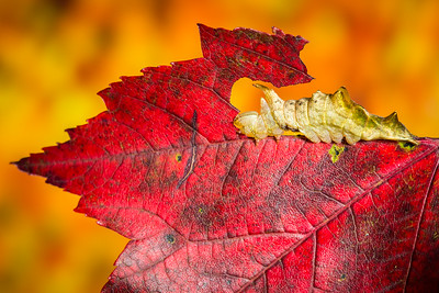 Red-washed caterpillar (Oligocentria semirufescens) on red maple leaf