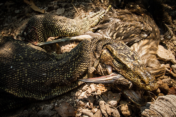 Salvator water monitors, some as long as 2 metres, wait patiently beneath the nesting bird colony of Rambut island, Indonesia. #BBC #EarthOnLocation #Indonesia #Monitor #Lizard #Predation