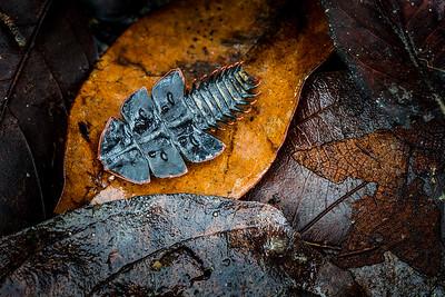 Trilobite beetle, (Duliticola hoiseni) Kinabalu National Park, Sabah, Borneo.
