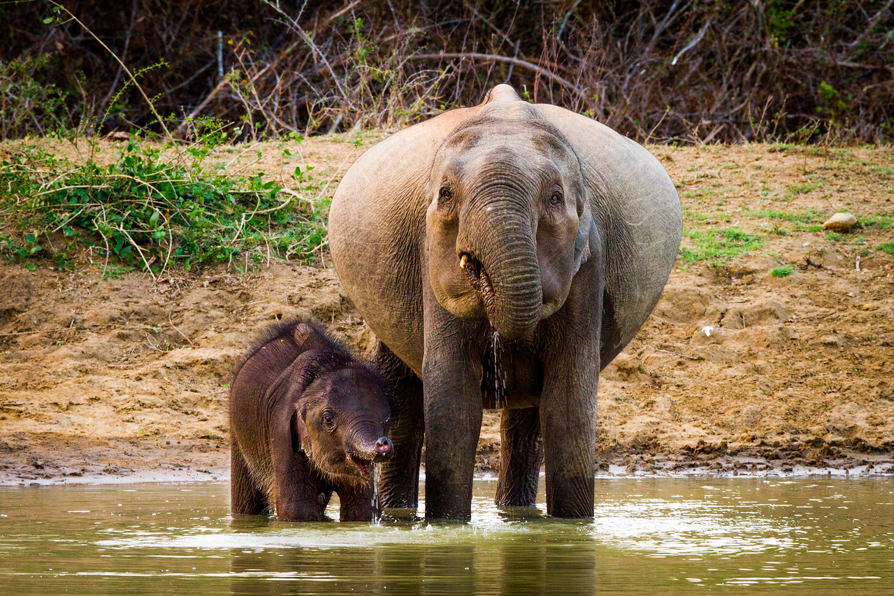 I was filming in Sri Lanka... after hours spent trying to find a leopard we passed by this waterhole where a small family of elephants where drinking. It was a welcome break,  we ate lunch and watched ths young elephant playing with the water while his very pregnant mum drank more than enough for two! #EarthOnLocation #SriLanka #BBCEarth #Filming #Wildlife #Elephant
