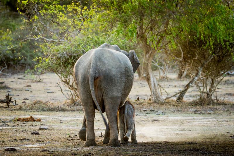 Sri Lankan Asian Elephants (Elephas maximus maximus). Pregnant mother and calf, in the dry season, Sri Lanka, Yala National Park
