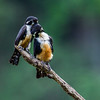 Black Thighed Falconet - Worlds smallest raptor