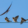 I was exploring St Michael's Mount, in Cornwall, when I noticed these little swallow chicks (Hirundo rustica) sat on a wire between two of the island's buildings. They still had some downy feathers and had probably fledged from their nest just a day or two ago. The parents bring food back up to 400 times a day but passing it can take less than a second.  I focussed on the chicks and as soon as I saw the tell-tale signs of excitement my finger was ready on the trigger. I think that this is an image that many parents will relate to - it can be difficult when more than one child is demanding your attention at the same time. #Swallows #Birds #Fledging #Chicks #Feeding #Hungry #Children