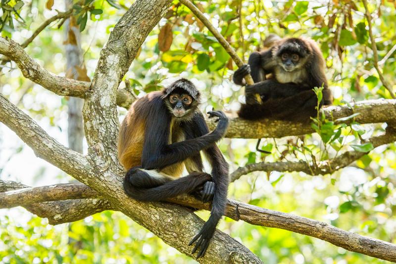 In Belize - Spider Monkeys. Gotta lov em' #EarthOnLocation #BBCEarth #Monkey #Belize
