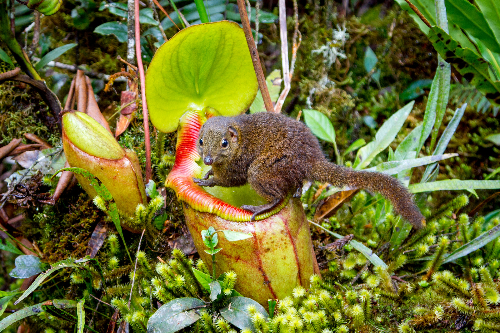 Caught in the act! Whilst filming on Mount Kinabalu in Borneo, I sat down opened a piece a chocolate and took a minute to admire the view. That's when a large shrew jumped up, grabbed my chocolate and ran off. It wasn't long before he was back for more, and  this was no ordinary shrew... It was the tree shrew that has a remarkable relationship with a giant carnivorous pitcher plant! We had discovered that here they were habituated, allowing us to to film this astonishing behaviour in detail for the first time. It was once believed that the pitchers sweet nectar attracted the shrews, and upon climbing onto the rim they would slip into the plants digestive juices. The truth is more bizarre - instead of being eaten the shrew uses the pitcher as a toilet and leaves a nitrogen rich deposit of poo as payment. Perfect fertiliser that the plants need to survive on these rain washed slopes. #BBCEarth #EarthOnLocation #Toilet #Shrew #Pitcher #Borneo #Plant #Poo #Mountain #Filming #Wildlife