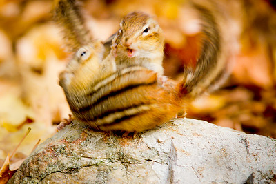 Chipmunk battle