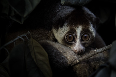 The cutest face in the rainforest - a slow loris peeks out, West Java, JAAN