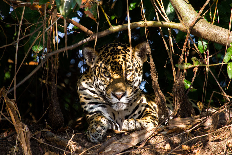 A jaguar's hungry eyes peer at me from the shade. #Pantanal #Brazil