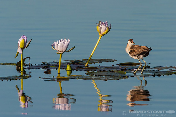 David Stowe-Comb-crested Jacana-6768