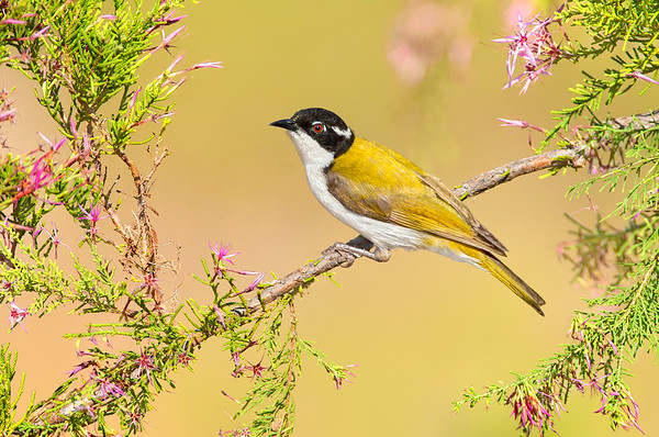 White-throated Honeyeater – Melithreptus albogularis (Kakadu NP, Northern Territory)