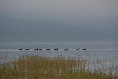 Geese on the lake in Burton in smoke filled BC Summer 2017.