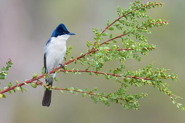Restless Flycatcher - Myiagra inquieta