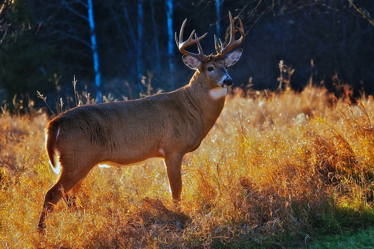 Whitetail buck in fall light