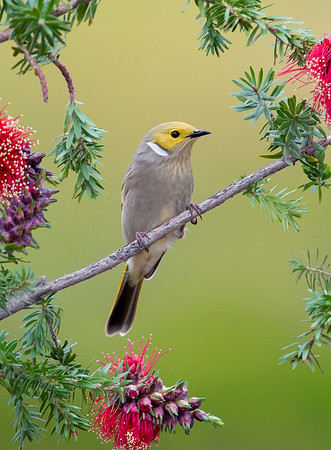 White-plumed Honeyeater - Lichenostomus penicillatus (Warby Ranges, Vic)
