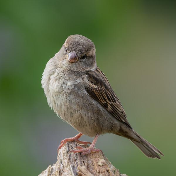 Do I look pretty? #HouseSparrow #sparrow #PasserDomesticus#sony #a7riii