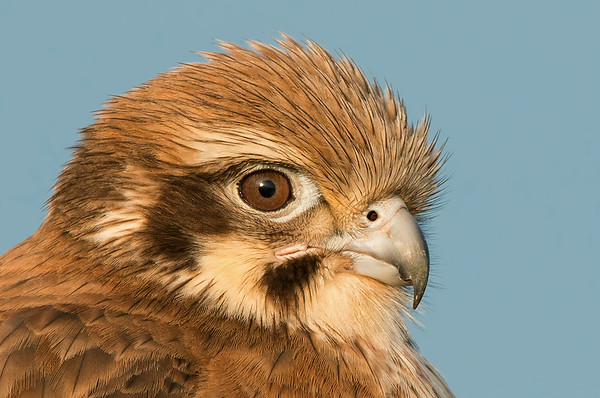 Brown Falcon - Falco berigora (Western Treatment Plant, Vic)