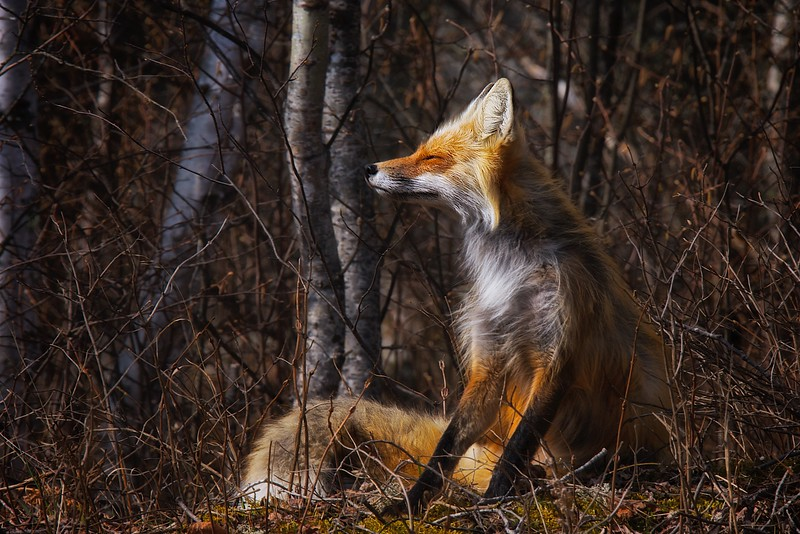 Fox basking in the warmth of the morning sun on a cool spring day