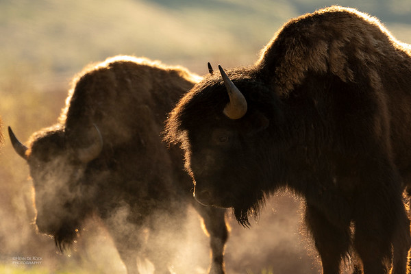 Bison, Yellowstone NP, WY, USA May 2018-6