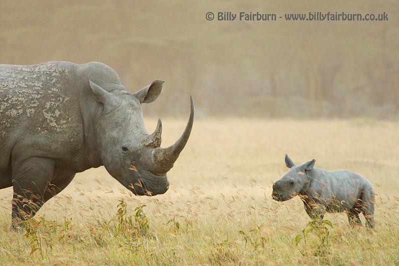 White Rhino and Calf   Lake Nakuru, Kenya   A rhino mother looks over her young calf on the Nakuru plains
