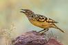 Western Bowerbird - Chlamydera guttata (Ormiston Gorge, NT)