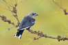 Dusky Woodswallow - Artamus cyanopterus (Benalla, Victoria)